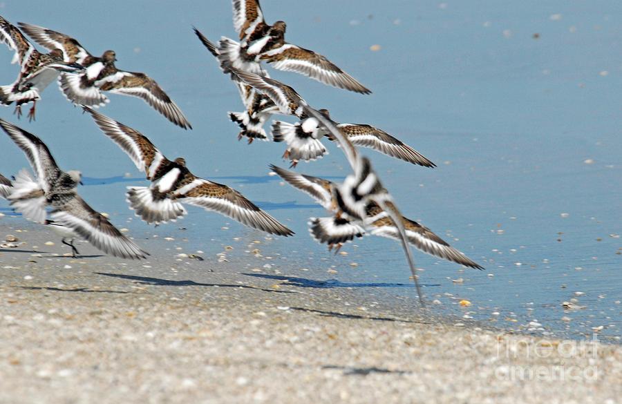 Sea Birds Photograph - Flock Of Ruddy Turnstones by Richard Nickson