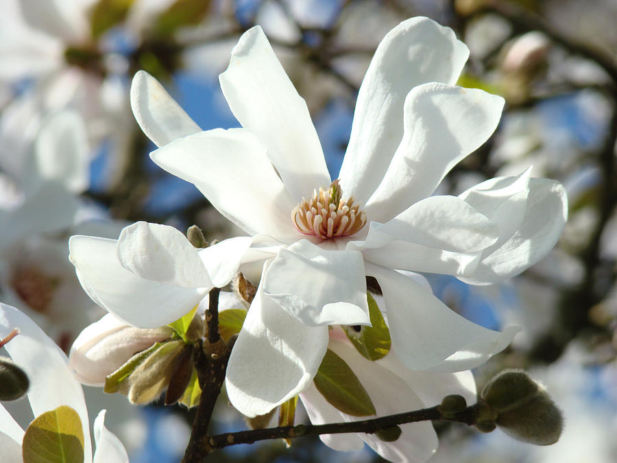 Floral Art Prints White Magnolia Flowers By Baslee Troutman