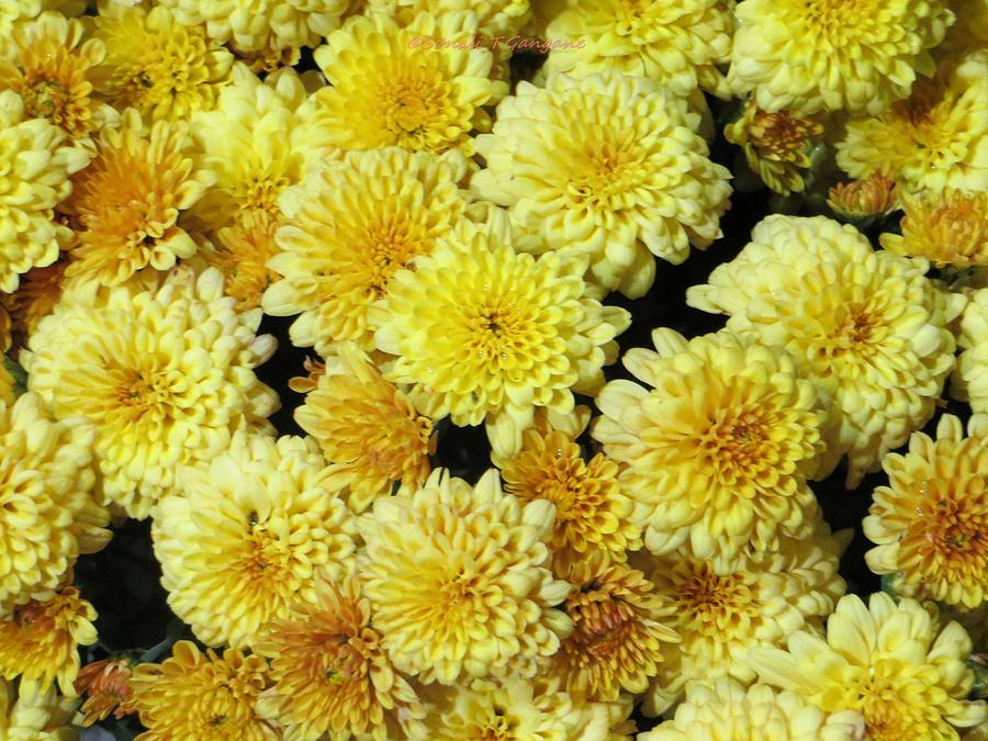 Chrysanthemums Photograph - Floral Carpet by Sonali Gangane