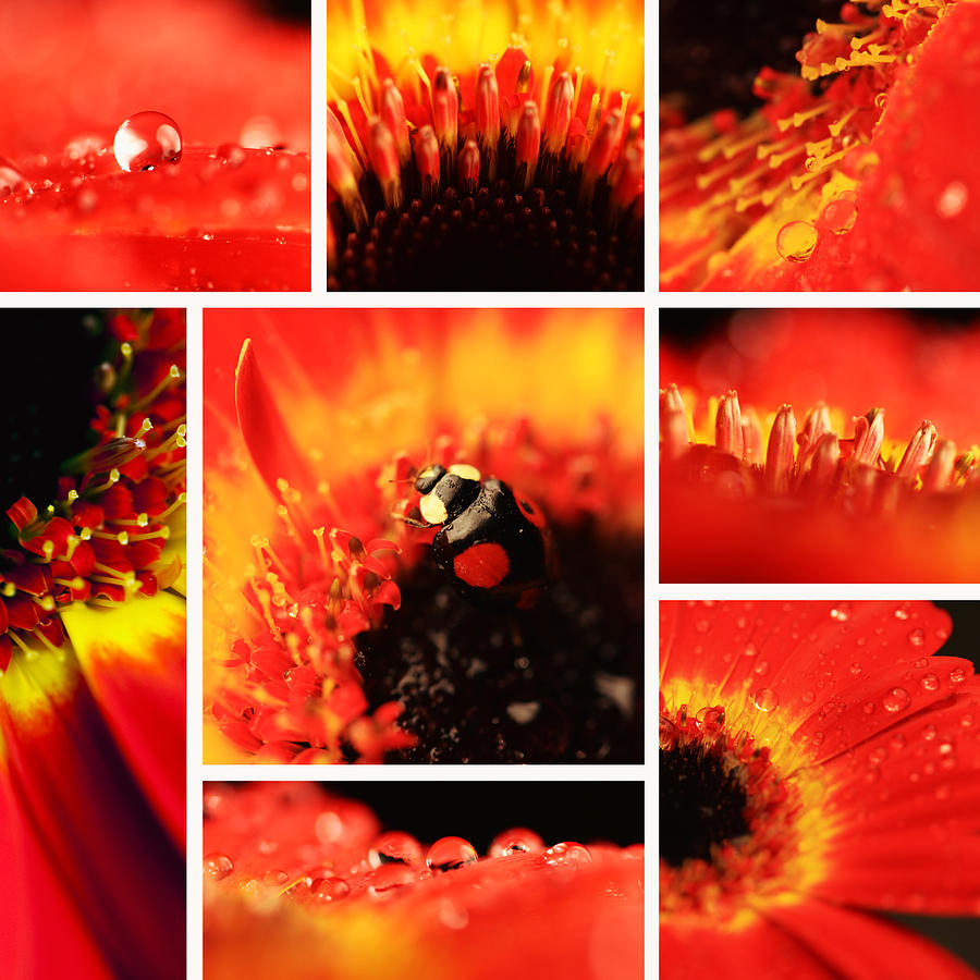 Gerbera Photograph - Floral Collage by Falko Follert
