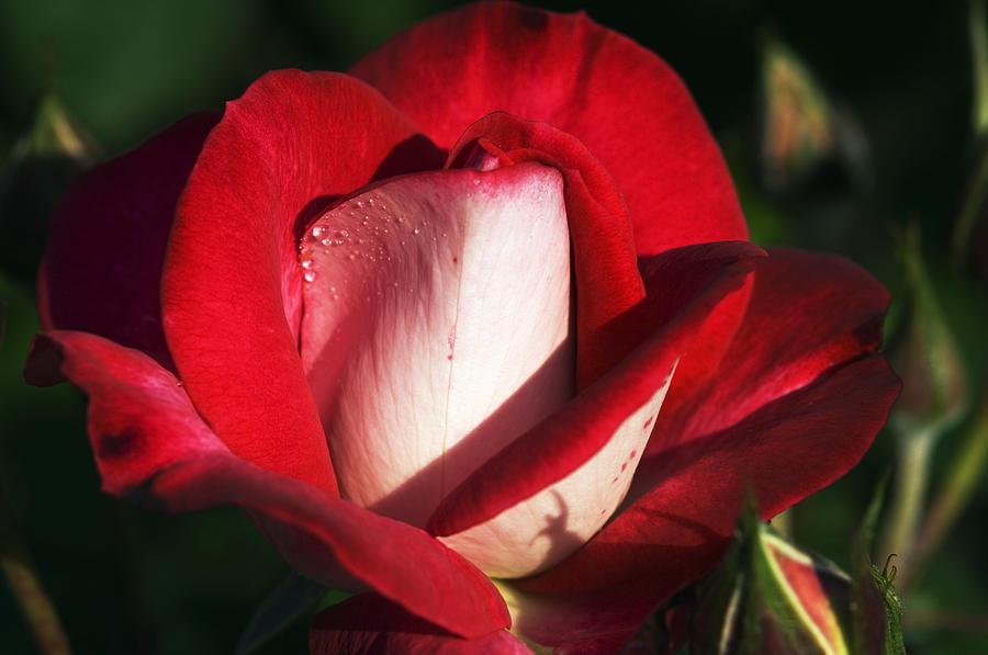 Rosa Photograph - Floribunda Rose (rosa molly Mcgredy) by Georgette Douwma