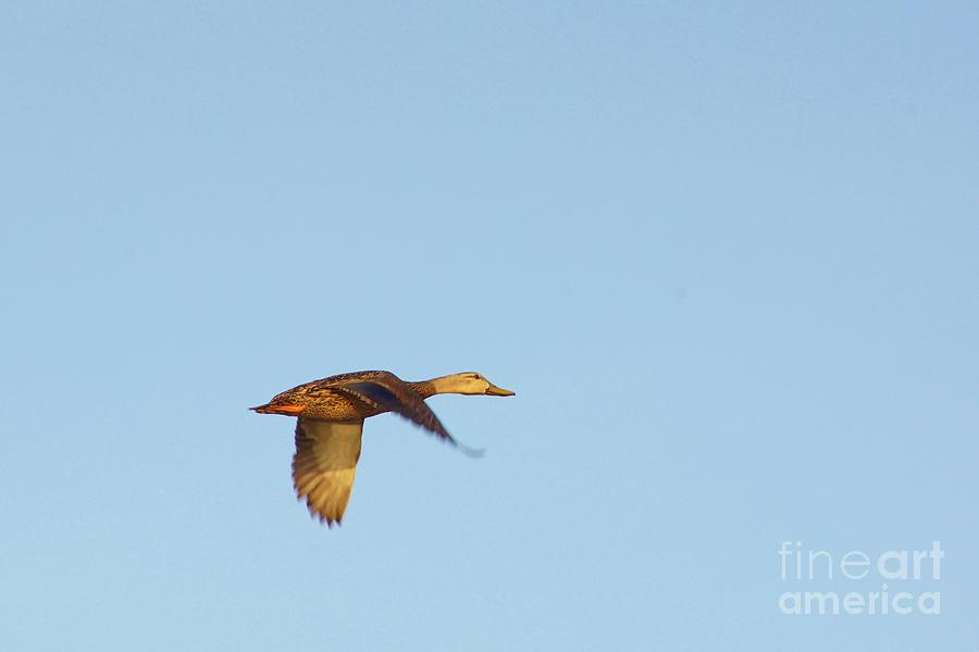 Mottled Duck Photograph - Florida Flyer by Lynda Dawson-Youngclaus