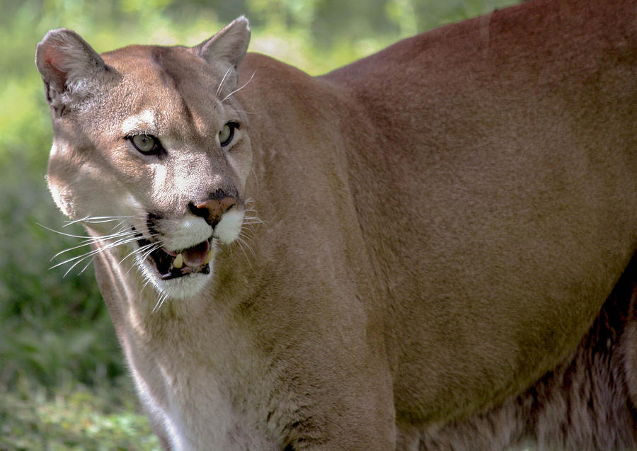 Florida Panther - Endangered Photograph by Andrea OConnell