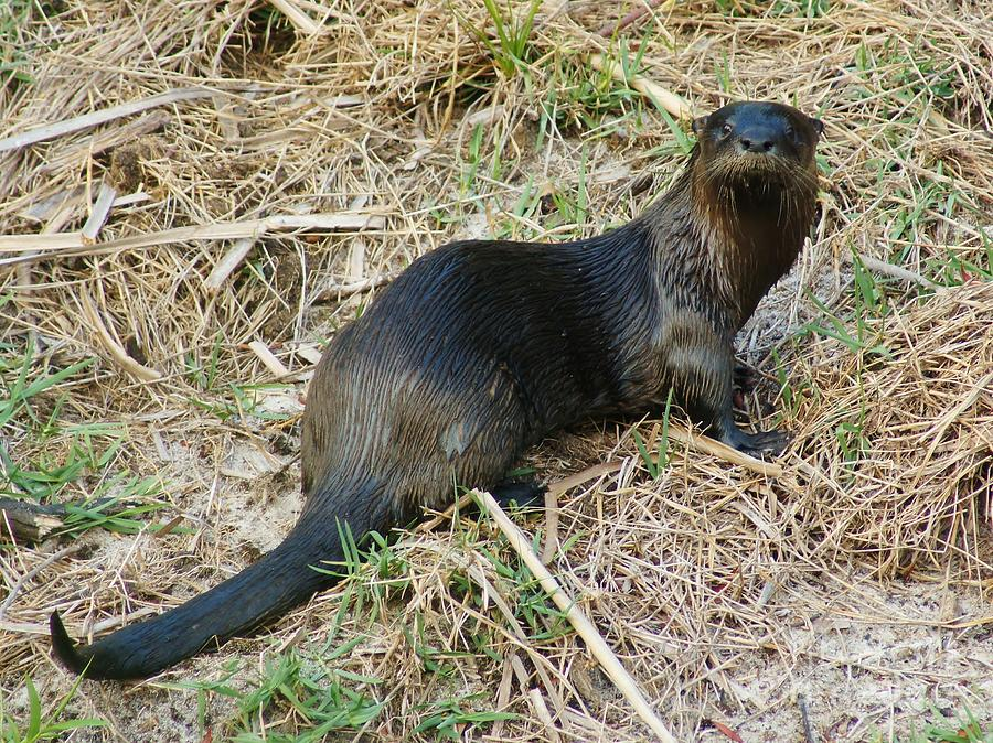 North American River Otter Photograph - Florida River Otter by Lynda Dawson-Youngclaus