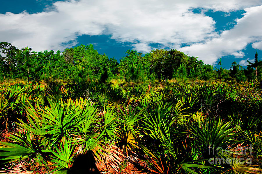 Clouds Photograph - Florida Scrub 1 by Carson Wilcox