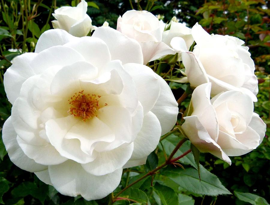Flourishing iceberg roses photograph by will borden for Rosa iceberg