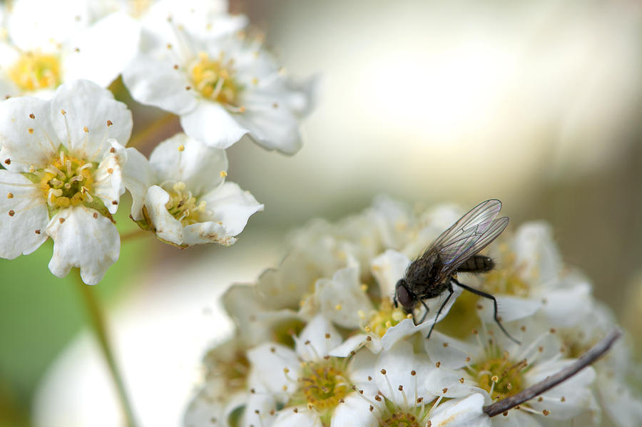 Flower Photograph - Flower Fly by Michael Wilcox
