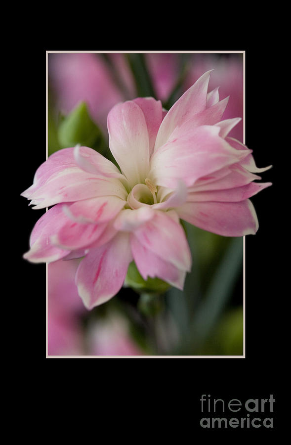 Nature Photograph - Flower in frame -3 by Tad Kanazaki