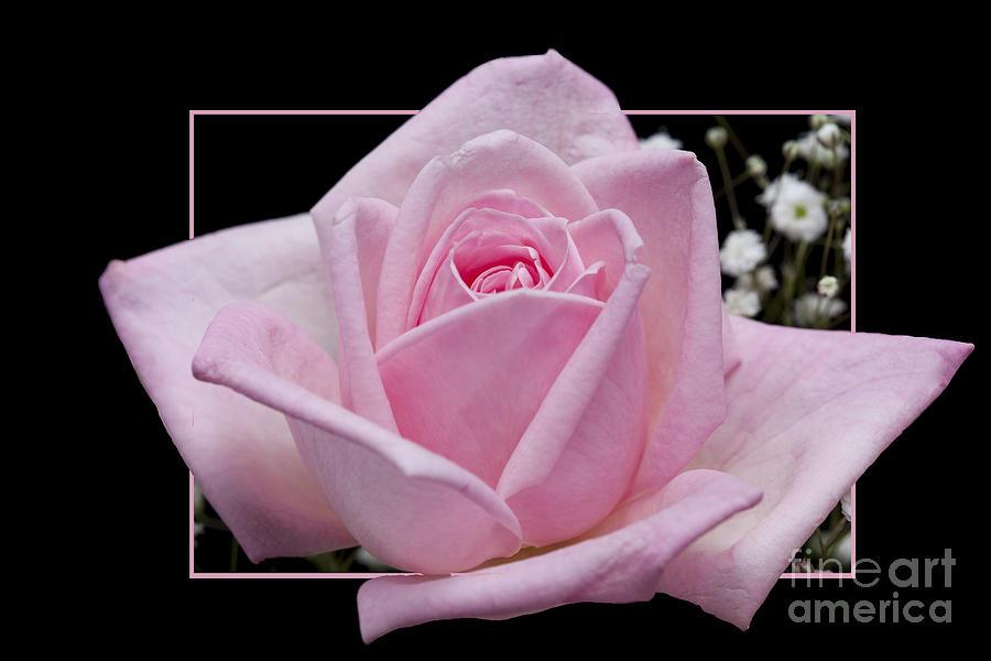 Rose Photograph - Flower in frame -9 by Tad Kanazaki