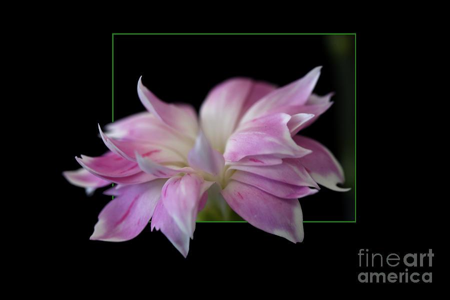 Flower Photograph - Flower in frame by Tad Kanazaki