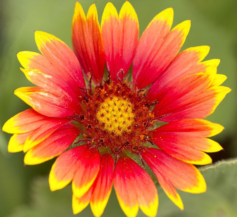 Sunflower Photograph - Flower Power by Daphne Sampson