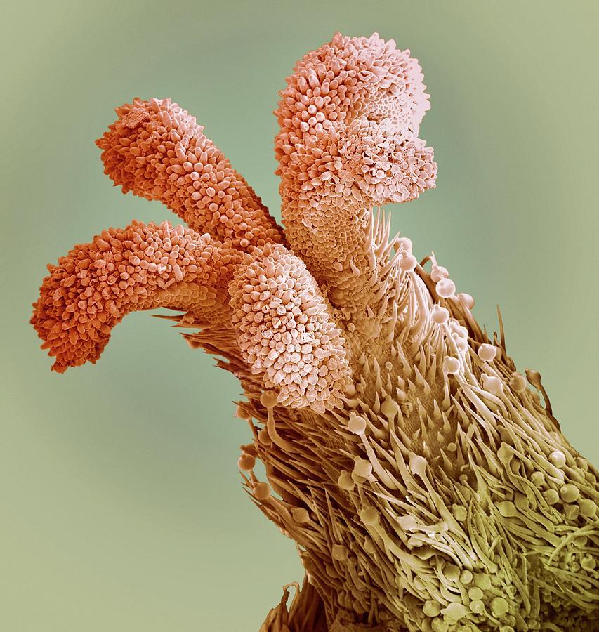 Style Photograph - Flower Stigma, Sem by Steve Gschmeissner