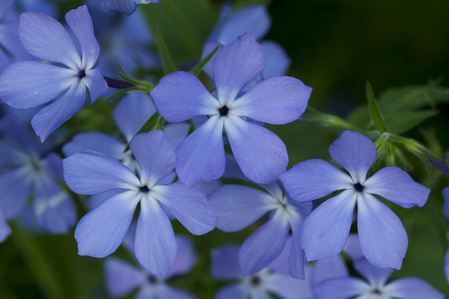 Flower Wild Blue Phlox 1 C Photograph by John Brueske