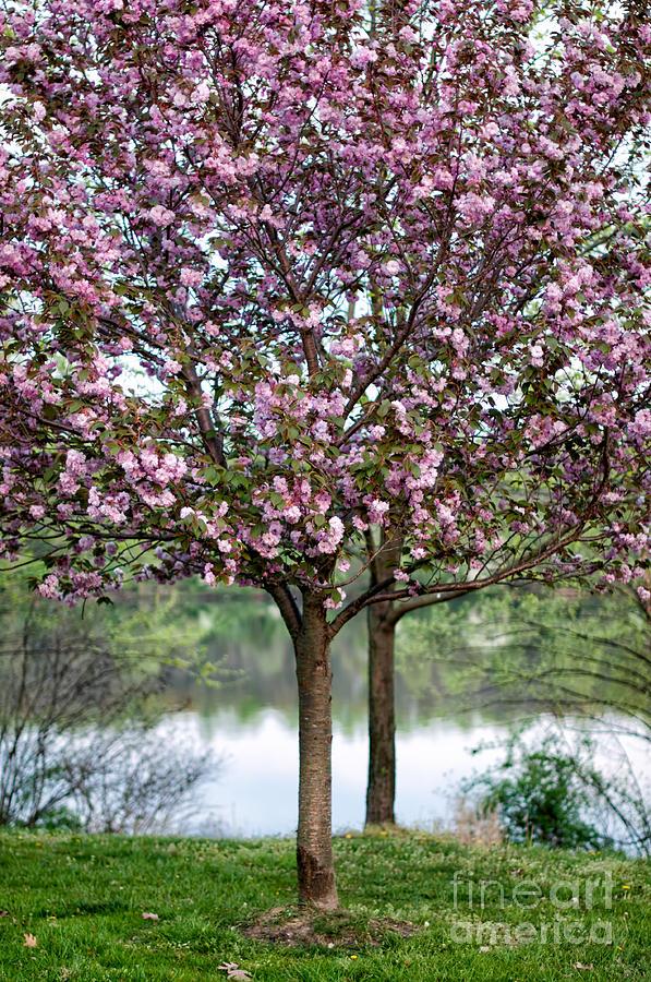 dawson v cherry tree machine flowering cherry tree photograph by barbara dawson