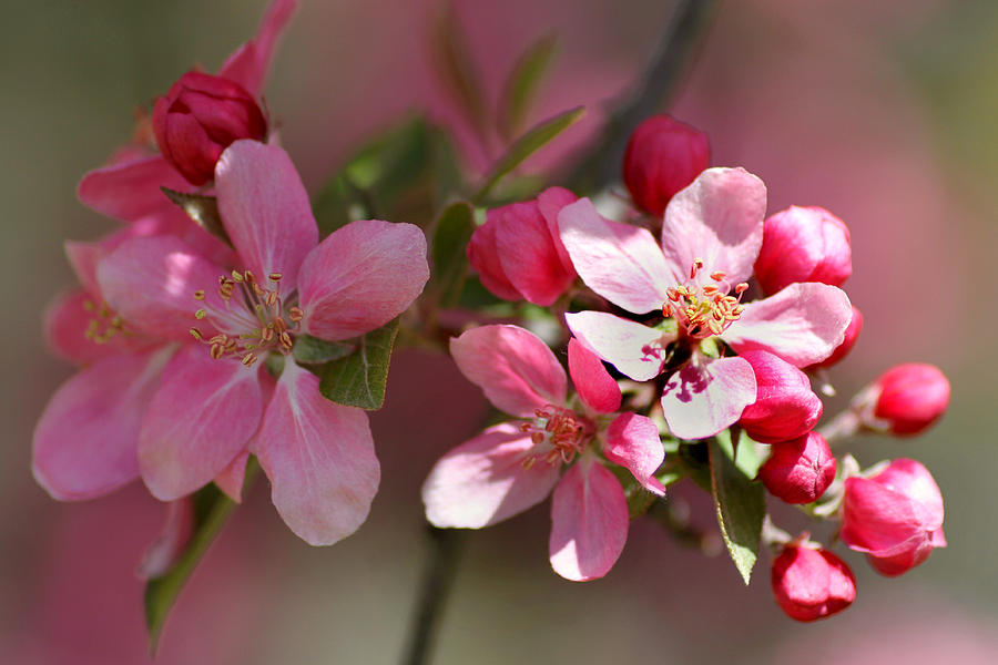 Flower Photograph - Flowering Crabapple Detail by Mark J Seefeldt
