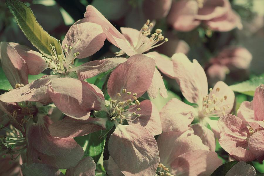 Flower Photograph - Flowering Crabapple Muted by Mark J Seefeldt