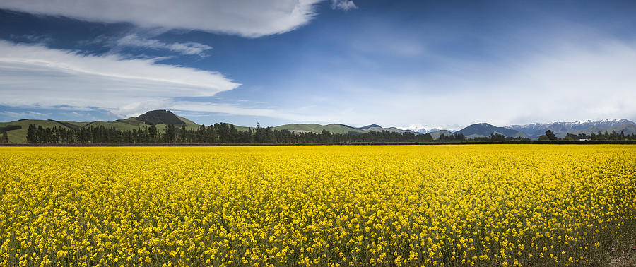 Agricultural Photograph - Flowering Mustard Crop In Canterbury by Colin Monteath