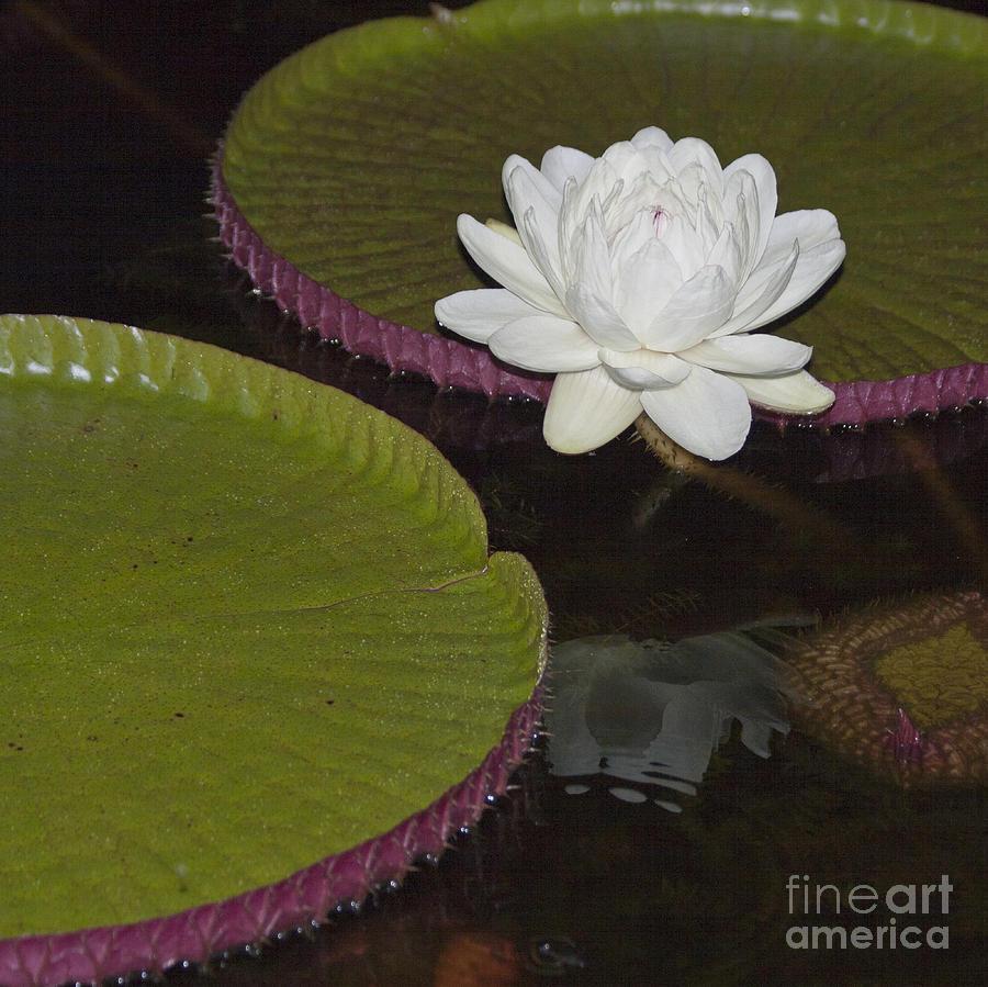 Victoria Amazonica White Flower Photograph