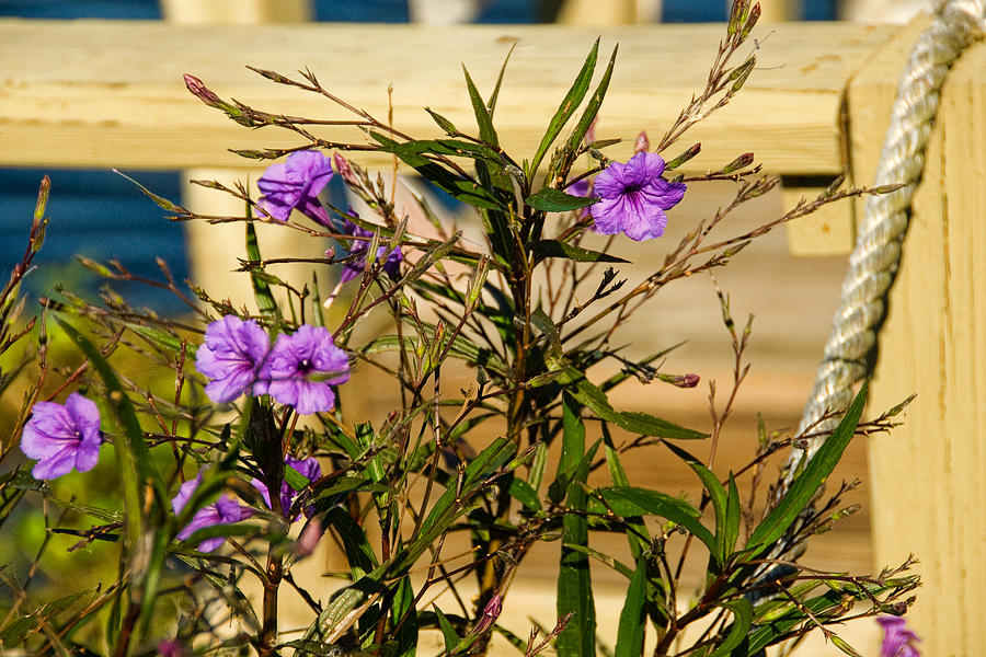Purple Flowers Photograph - Flowers At The Dock by Cindy Tiefenbrunn