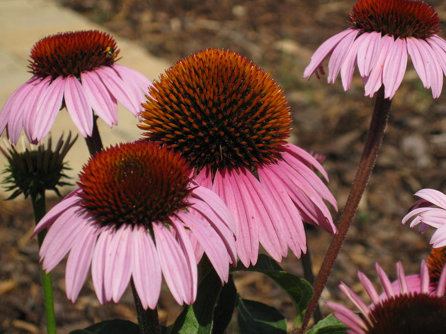 Coneflowers Photograph - Coneflowers by Megan Cohen