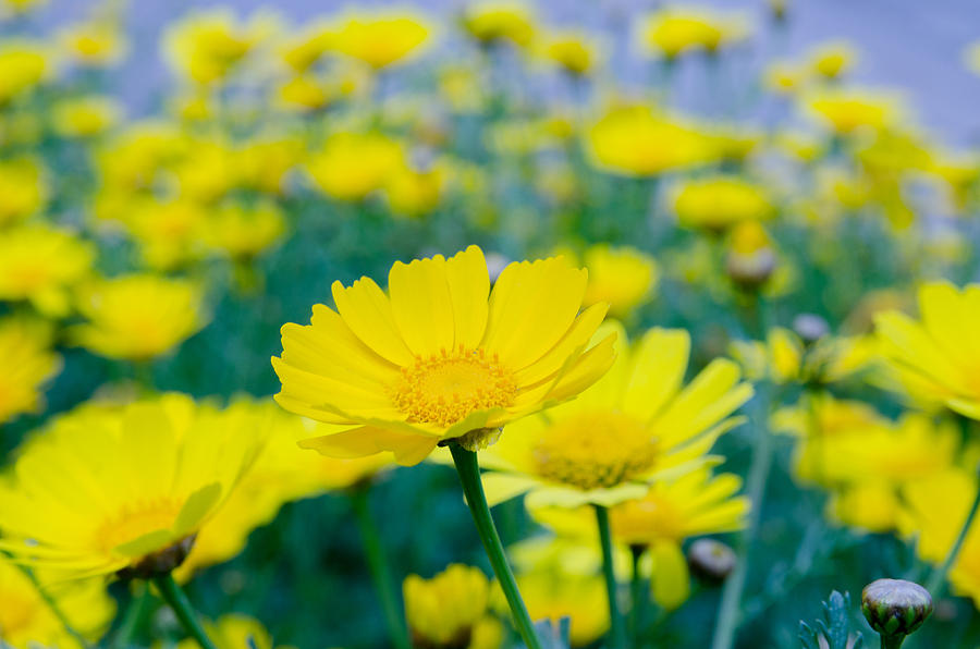 Background Photograph - Flowers of tanacetum  by Michael Goyberg