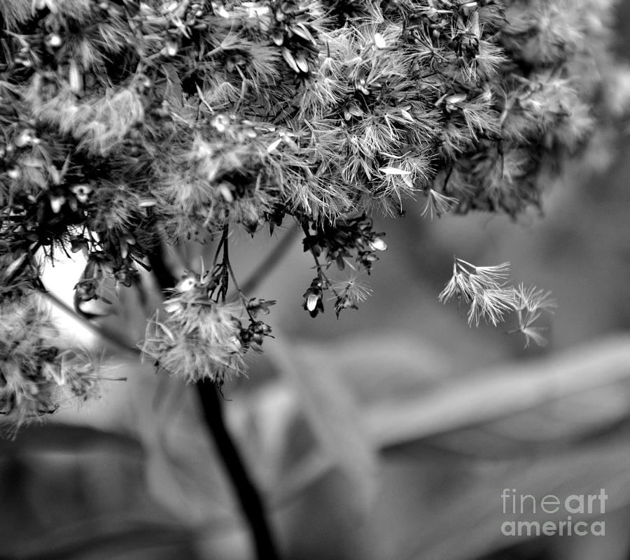 Black And White Photograph - Fluffy by Tanya  Searcy