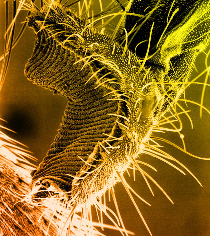 Housefly Photograph - Fly Proboscis, Sem by Biomedical Imaging Unit, Southampton General Hospital