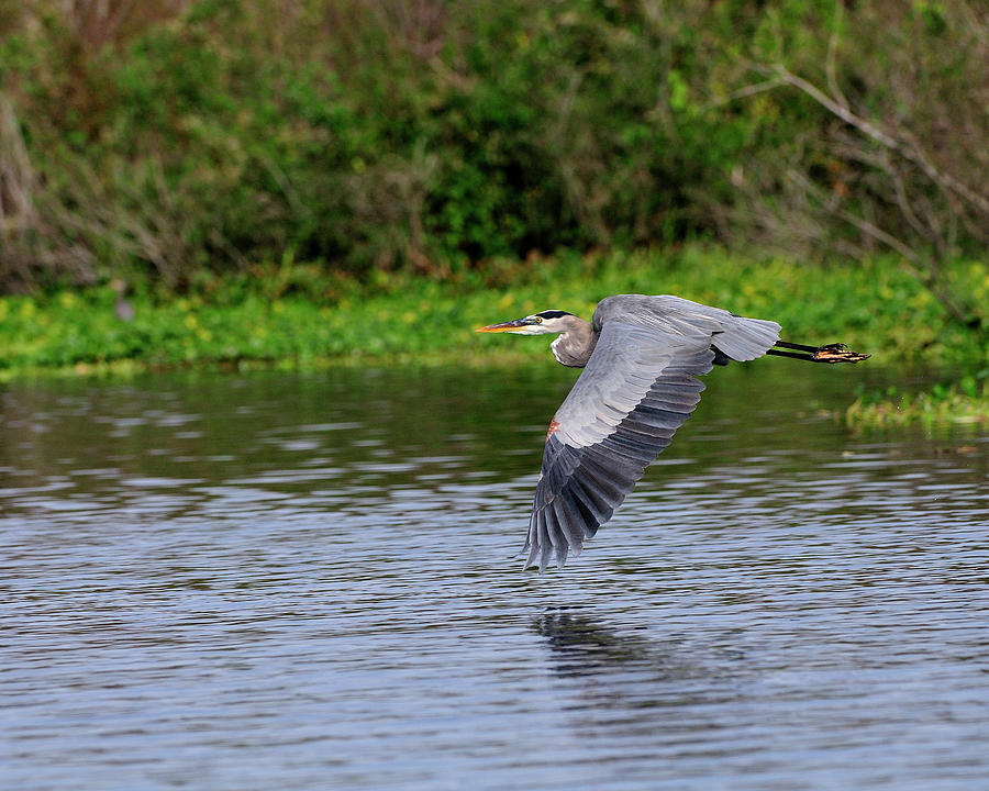 Great Blue Heron Photograph - Flying Across The St Johns by Bill Dodsworth