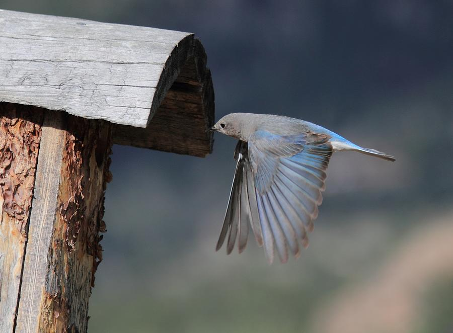 Bluebird Photograph - Flying Around by Shane Bechler
