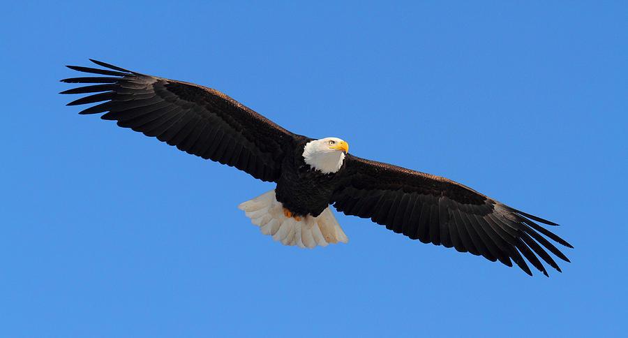 Flying Bald Eagle Photograph By Doug Lloyd