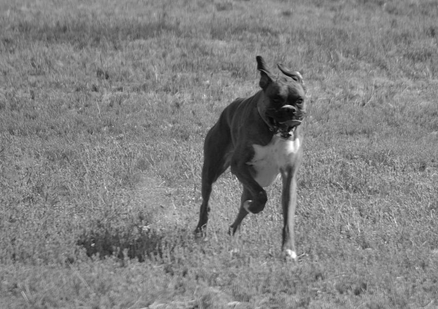 Boxer Photograph - Flying Boxer by Jill Baum