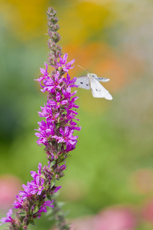 Decorative Photograph - Flying Butterfly by Melanie Viola