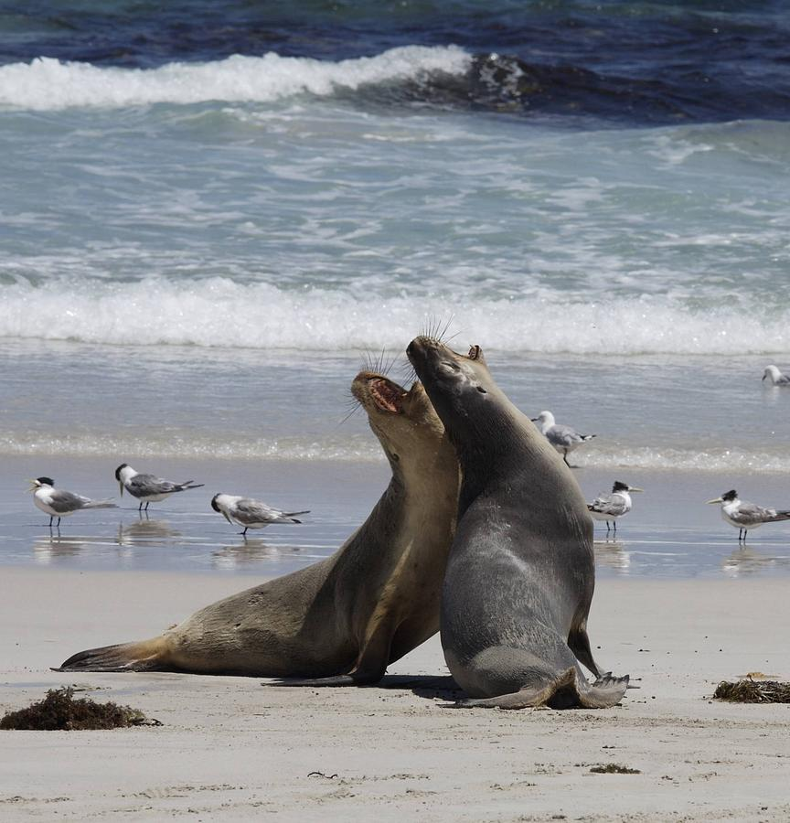 Sea Lions Photograph - Flying Fur by Lee Stickels