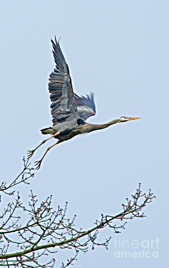 Flying Heron Photograph