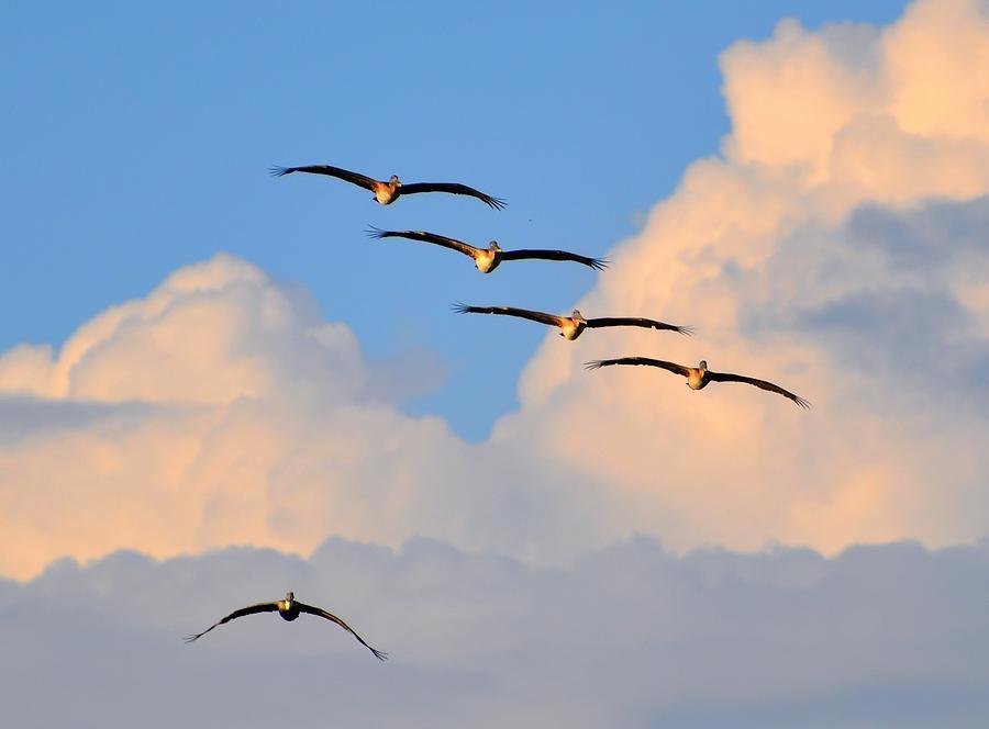 Great Blue Heron Digital Art - Flying High by Barry R Jones Jr