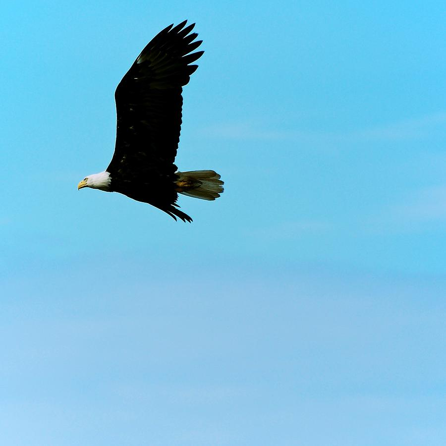 Eagle Photograph - Flying High by Eric Tressler