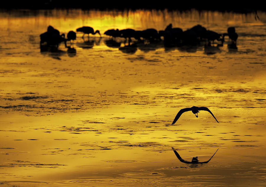 Wading Birds Photograph - Flying Home - Florida Wetlands Wading Birds Scene by Rob Travis
