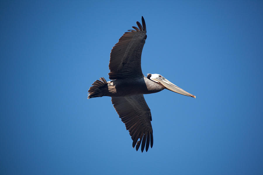 Pelican Photograph - flying Pelican by Ralf Kaiser