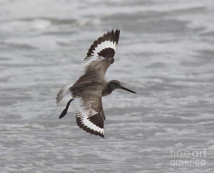 Willet Photograph - Flying Willet by Chris Hill