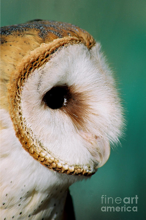 Owl Photograph - Focused by Christopher Griffin