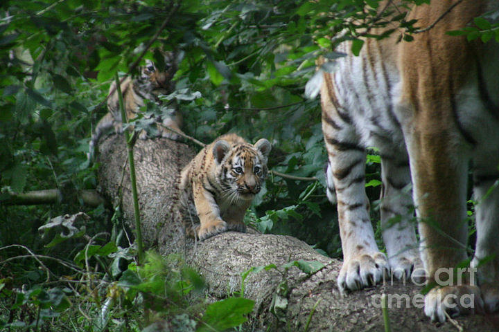 Tiger Photograph - Follow Me by Carol Wright
