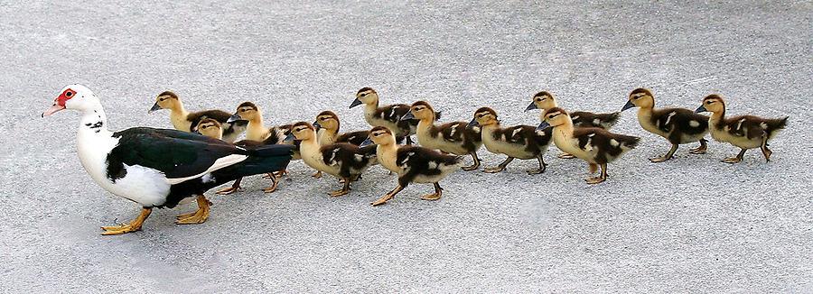 Duck Photograph - Follow Me by Paulette Thomas