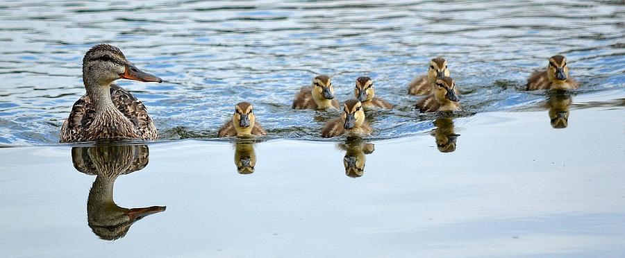 Ducklings Photograph - Follow Moms Lead by Fraida Gutovich