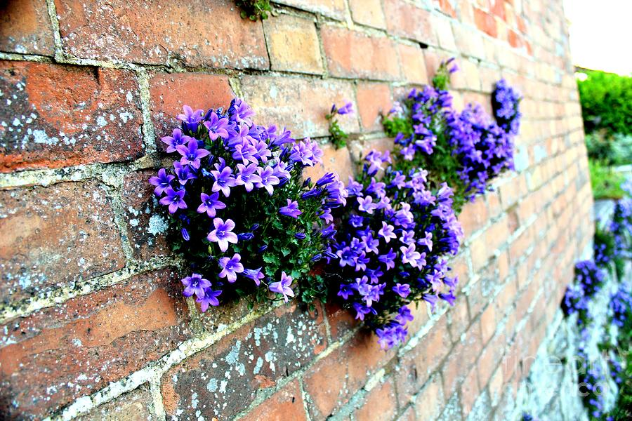 Flowers Photograph - Follow The Flower Brick Wall by Rene Triay Photography