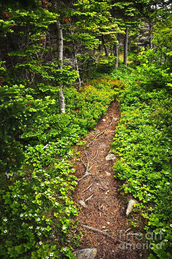Forest Photograph - Forest Path In Newfoundland by Elena Elisseeva