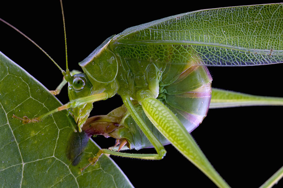Forktailed Bush Katydid Laying Eggs Photograph by Piotr ...