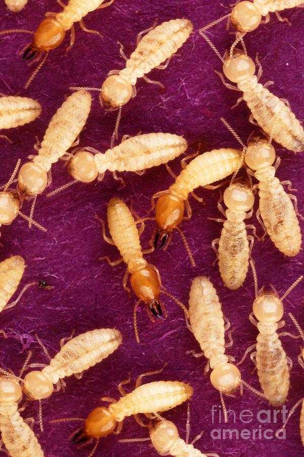 Formosan Termite Photograph - Formosan Termites by Science Source
