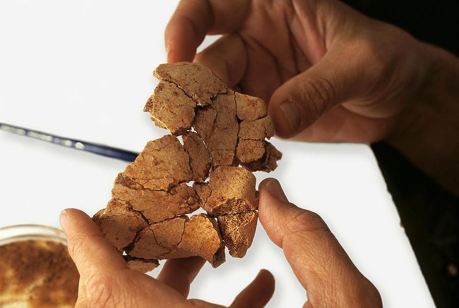 Homo Antecessor Photograph - Fossilised Frontal Bone, Gran Dolina by Javier Truebamsf