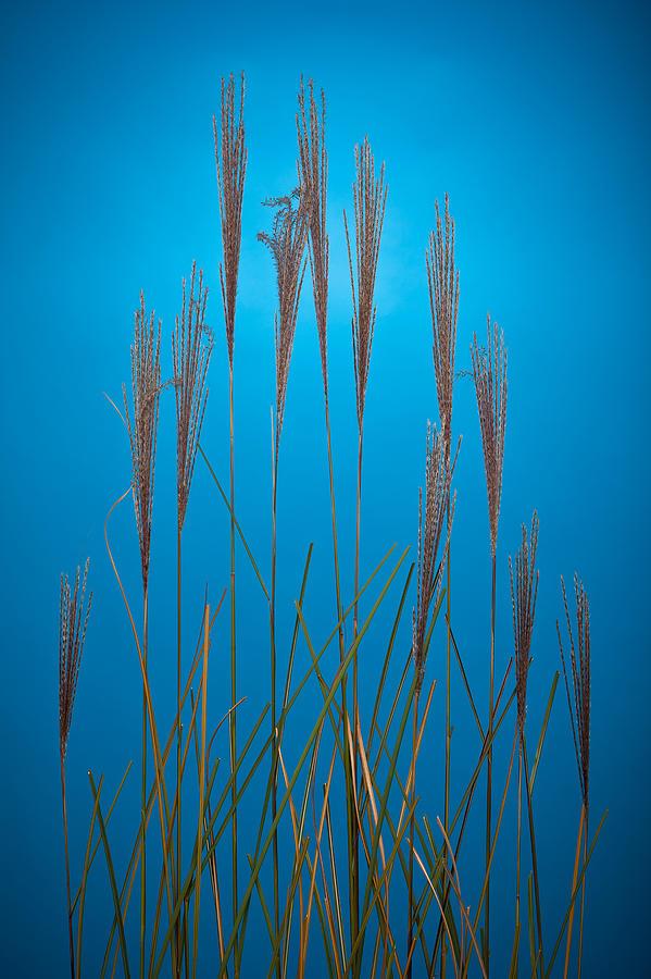 Studio Photograph - Fountain Grass In Blue by Steve Gadomski