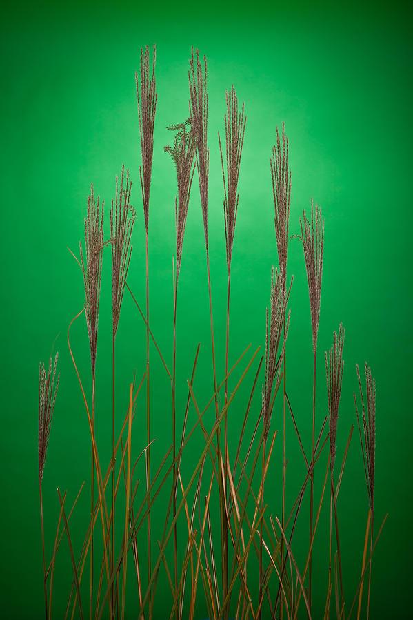 Grass Photograph - Fountain Grass In Green by Steve Gadomski